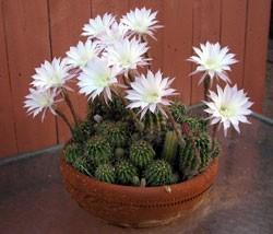 Echinopsis cena