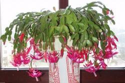 kaktus cena